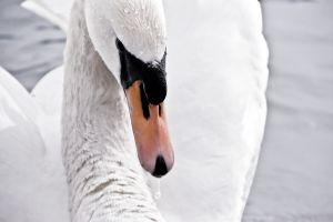 995893 white swan04