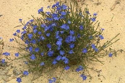 Biloba Flower