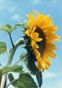 File:318597 sunflower.jpg