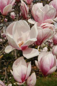 741100 magnolia
