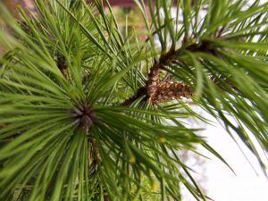 File:1031086 pinetree.jpg