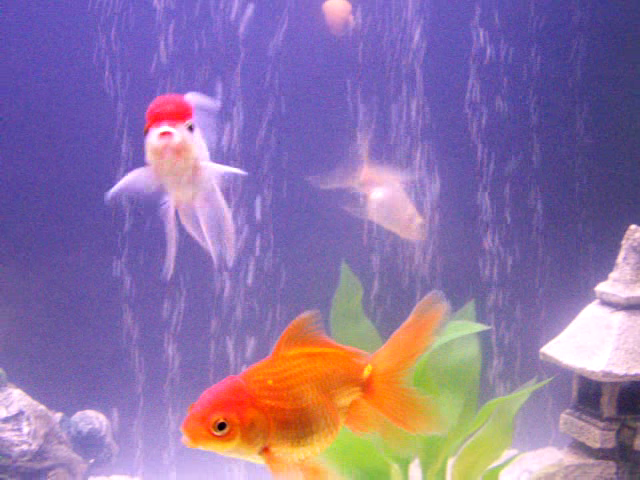 File:My+goldfish+swimming+to+some+music-3243.png