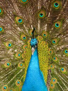 File:1044796 peacock 3.jpg