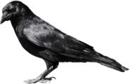 Black Carrion Bird