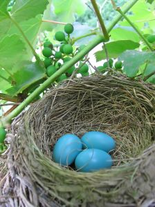 819126 robins eggs