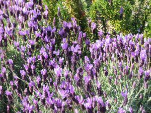 1005728 lavender