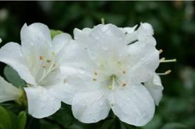 File:Dogwood Flower.jpg