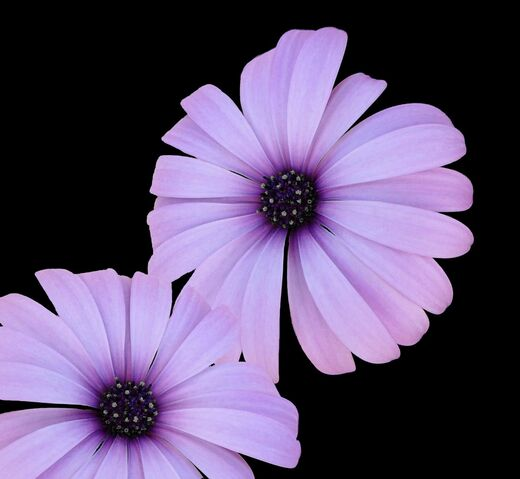 File:Mauve Flower.jpg