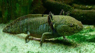 800px-Axolotl ganz