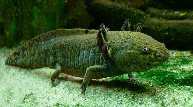 File:800px-Axolotl ganz.jpg