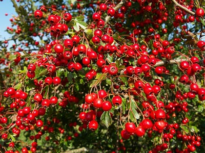 File:Hawthorn Berry.jpg