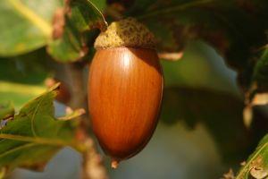 876406 acorn