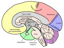 Image - Neuroanatomy.png | Coloring Book Wiki | FANDOM powered by Wikia