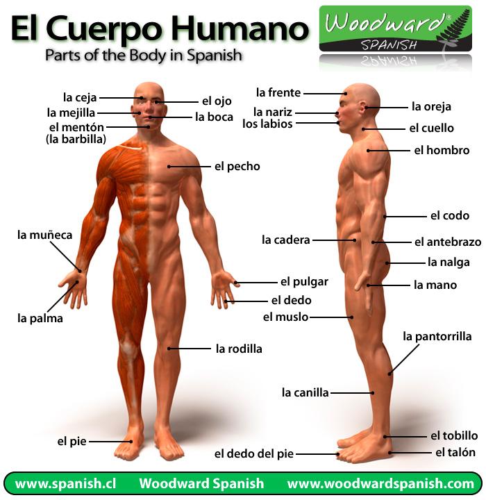 Imagen - Partes-del-cuerpo-humano.jpg | Wiki COMPONENTES DEL CUERPO ...