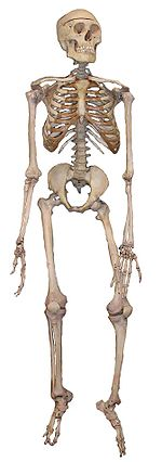 150px-Skeleton2