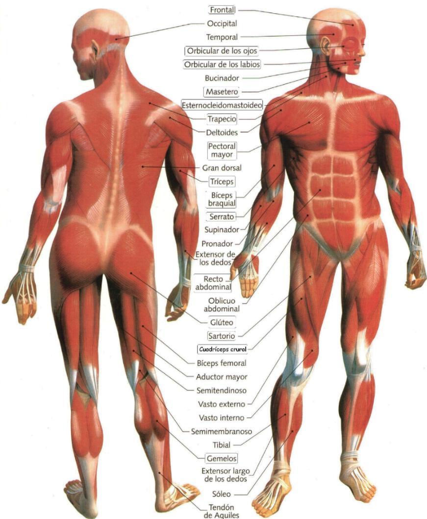 Imagen - Musculos-del-Cuerpo-Humano.jpg | Wiki COMPONENTES DEL ...