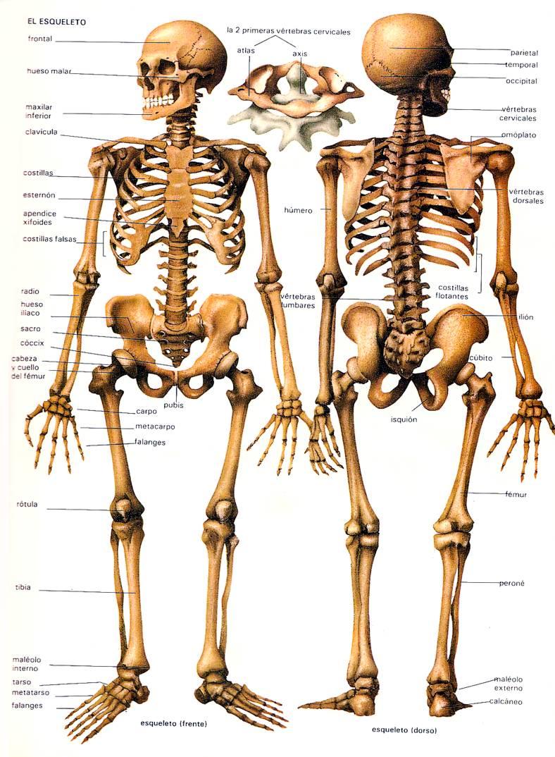 Imagen - Huesos-cuerpo-humano-esqueleto.jpg | Wiki COMPONENTES DEL ...