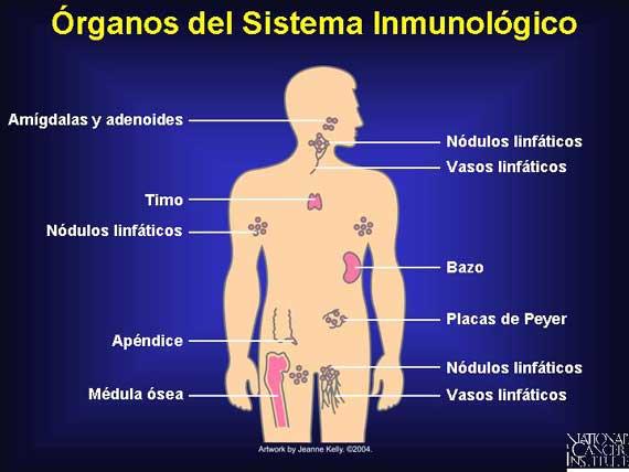 Sistema inmunológico | Wiki COMPONENTES DEL CUERPO HUMANO | FANDOM ...