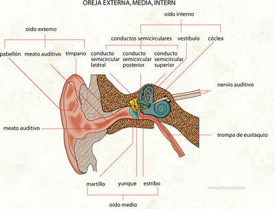 049 Oreja externa, media, interna