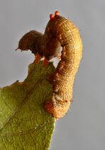 Treeworm