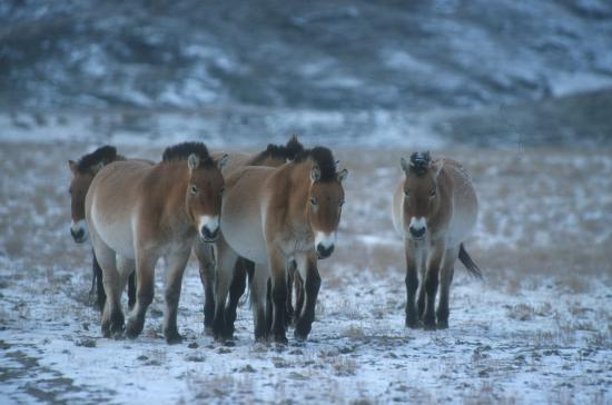 File:Orman Horses in the Tundra.jpg
