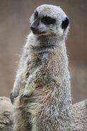 Sierran meerkat