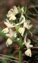 Roman Orchid