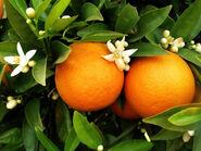 Washington navel orange