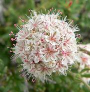 Sierra buckwheat