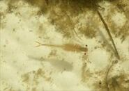 Riverside fairy shrimp