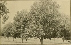 Orange trees in 1899