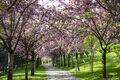 Cherry blossoms in Sierra.jpg
