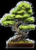 Sushi-Restaurant-Bonsai-Tree