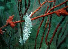 Sea slug nudibranch 7