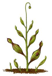 Archaeamphora longicervia