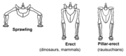 Sprawling and erect hip joints1
