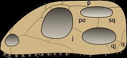 Skull diapsida 1 svg