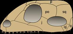 Skull synapsida 1 svg
