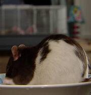 Darryl the Rat