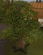 006 oak