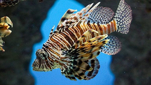 File:Red Lionfish.jpg