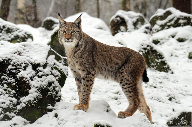 File:Eurasian lynx.jpg