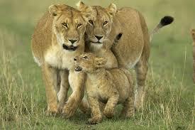 File:Lions.jpg