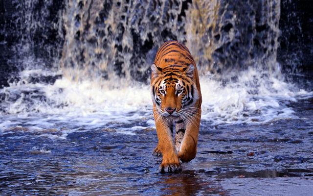 File:Bengal-tiger.jpg