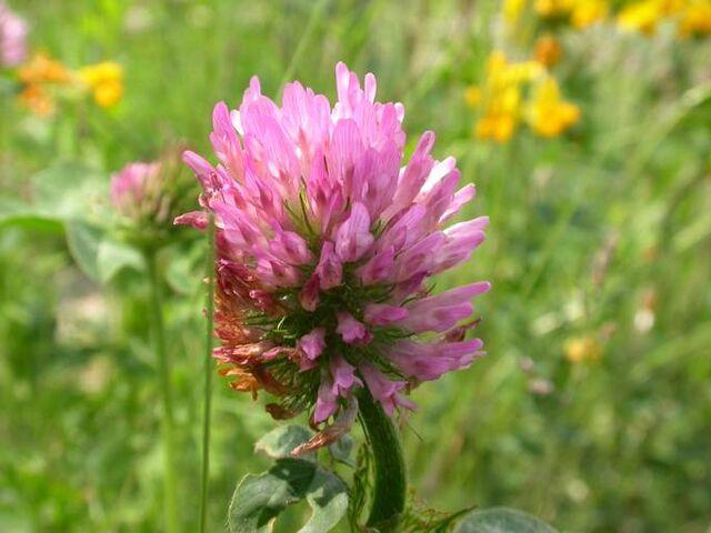 File:Clover Flower.jpg
