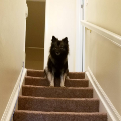 Mishka, Guardian of the Staircase.... or probably peeing...