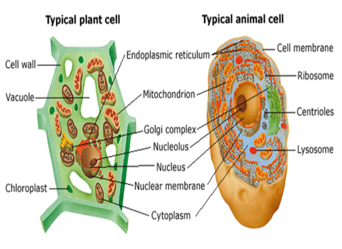 modern cell theory was proposed by