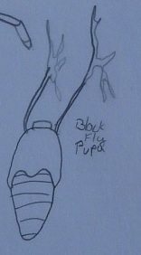 Black Fly Pupa Concept