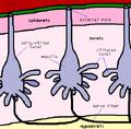 Ampullae Diagram.png