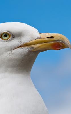 Seagull2501